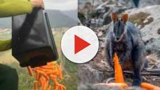 Australia: carote e patate lanciate dagli elicotteri ai canguri in pericolo