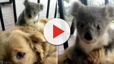 Una perrita salva a un koala en Australia