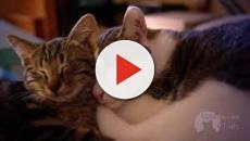 Le chat serait un médicament naturel pour l'homme