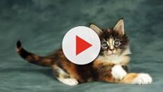 Quand le chat reconnait la voix de son maître mais préfère l'ignorer