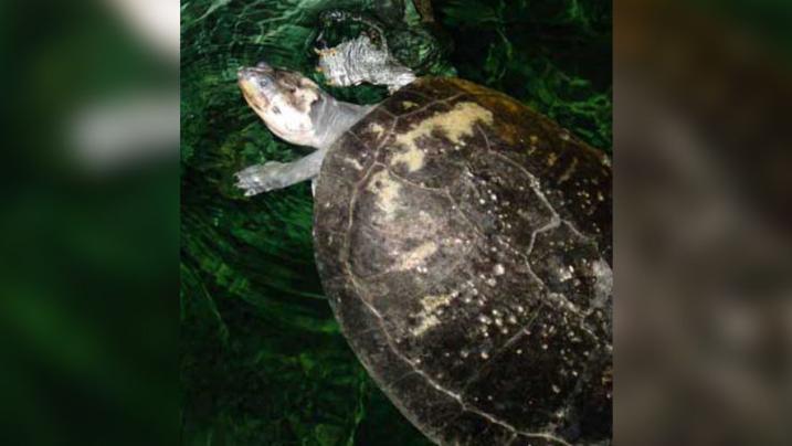 Tartaruga enorme de 2,4 metros nadou na Amazônia há cerca de 10 milhões de anos