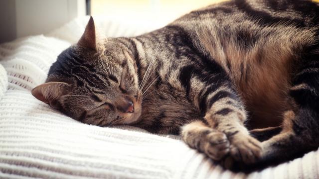 Chat : S'il dort sur votre tête, c'est pour plusieurs raisons et pas seulement la chaleur