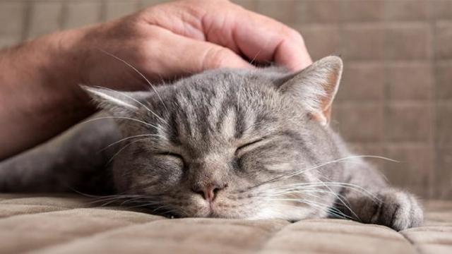 Pourquoi le chat lèche les cheveux