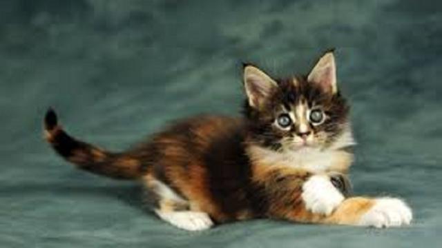 Pourquoi le chat gratte à côté de sa litière