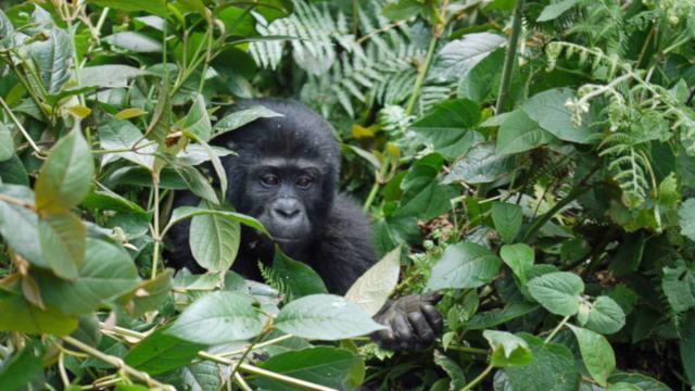 Coronavirus: chiudono i parchi in Africa per proteggere i gorilla di montagna dal contagio