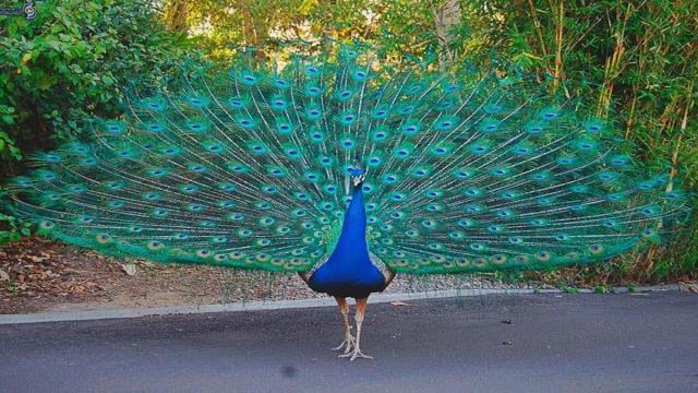 Diversos animales visitan las ciudades aprovechando que las calles están vacías