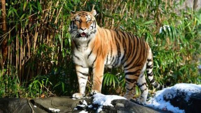 La tigresa Nadia del zoológico del Bronx de N.Y. da positivo en covid-19