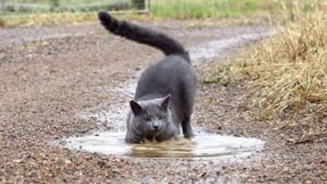 Le chat met sa patte dans l'eau pour tester la température mais pas seulement