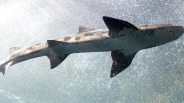 6 espécies de tubarões, que, mesmo grandes e assustadores, não trazem perigo