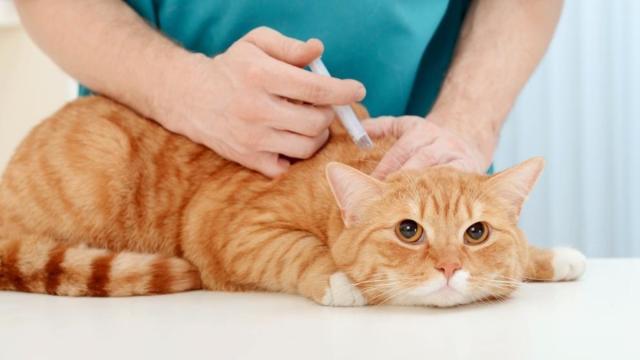 En España por primera vez se detecta coronavirus en un gato