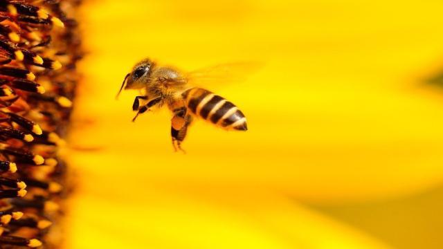 Las abejas son indispensables para preservar la biodiversidad