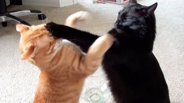 Jornalista 'viraliza' após seus gatos brigarem em transmissão ao vivo