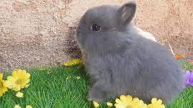 Comment donner de l'attention à son lapin nain