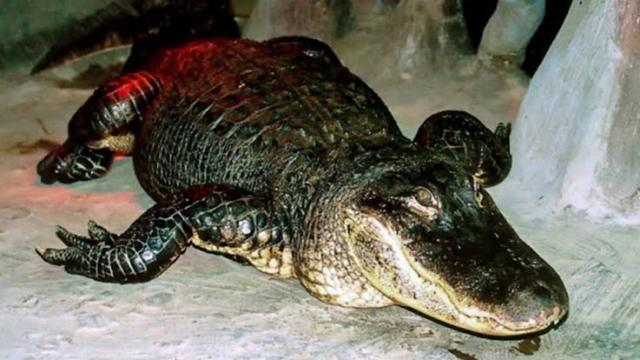 Saturn, a World War II alligator, dies at the age of 84 in Moscow Zoo