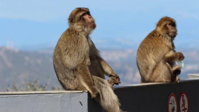 Con muestras humanas que podrían tener coronavirus, escapa una manada de monos