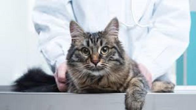 Il ne suffit pas de vacciner son chat pour qu'il reste en bonne santé