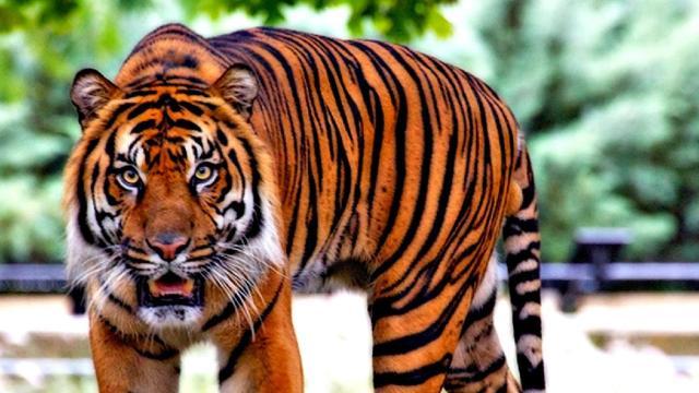 Día Internacional del Tigre, para crear conciencia de la conservación del bello felino
