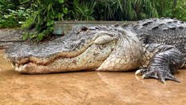 Des morceaux d'adolescent retrouvés dans le ventre d'un crocodile
