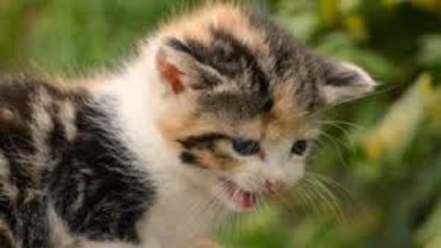 La castration ou l'ignorance, des conseils pour arrêter les miaulements de son chat