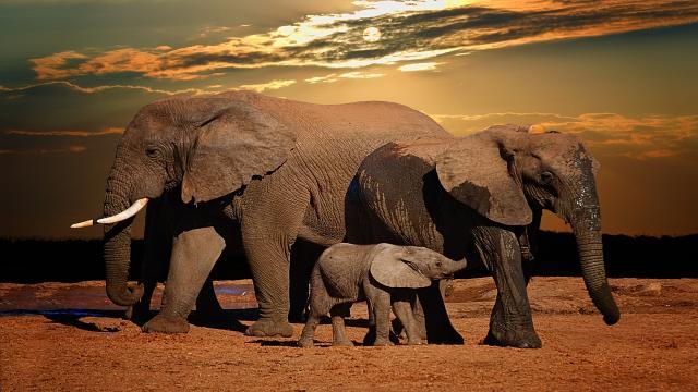 Bactéria vem causando morte de centenas de elefantes na África