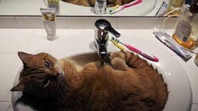 De la fraîcheur aux jeux, les raisons pour lesquelles le chat va dans la salle de bain