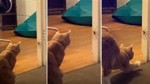 Le combat d'un chat et une araignée aurait pu tourner au drame