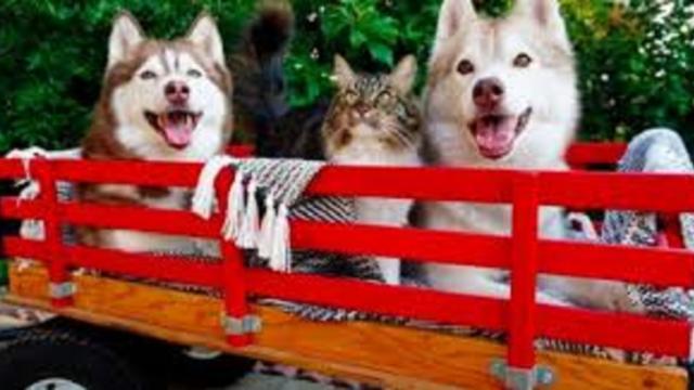 Elevé par un husky, ce chat se prend pour un chien