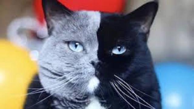 Un chat 'double face' est la star des réseaux