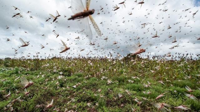 De gafanhotos a escorpiões: 5 invasões de animais ocorridas no Brasil