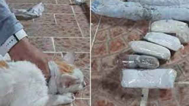 Un chat arrêté au Panama car il avait de la cocaïne dans son collier